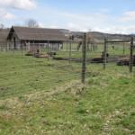 Büffel oder Bisons in nach Münsigen gesichtet