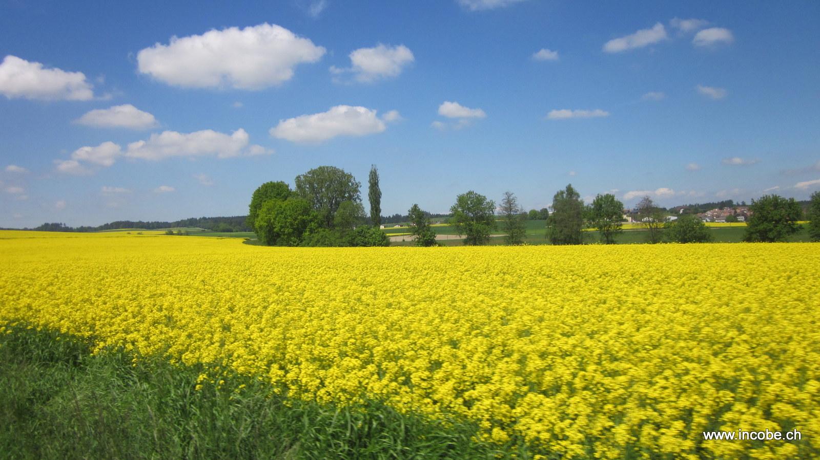 Gibeli gelbe Rapsfelder